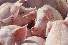 生猪产能进一步恢复,猪肉进口量依然保持高位